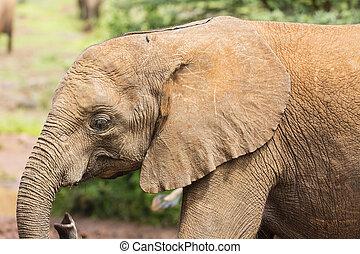 nationalpark, elefant, baby, kenia, nairobi