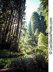 nationalpark, redwood, usa, kalifornien