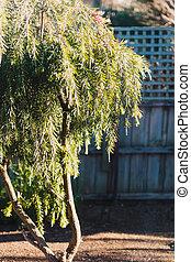 native Australian bottle brush callistemon tree in bloom ...