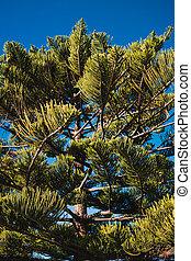 native Australian Norfolk Island pine tree with blue sky