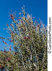 native Australian pink callistemon bottle brush plant outdoor