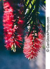 native Australian red bottlebursh callistemon plant with ...