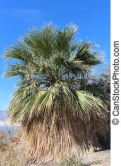 Native Fan Palm California