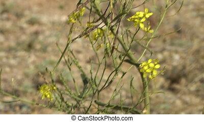 Native flower to Iran set in rocky landscape