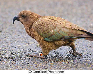 Native New Zealand Kea