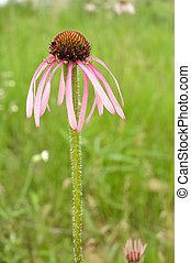Pale Purple Coneflower - Native Wildflower Pale Purple...