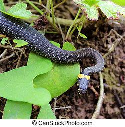 Natrix. Snake in the grass.