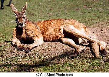 natuarl, parque, cima, de, a, canguru, perto, bush