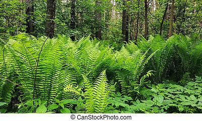 natur, bäume., urals, junger, farn, grüner wald, hintergrund, thickets, russland