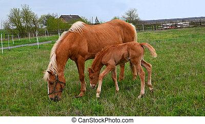 natur, liebling, pferd, tier