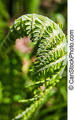 natur, urals, junger, farn, grüner wald, close-up., thickets, russland
