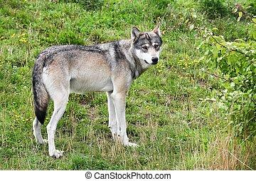 natur, wolf