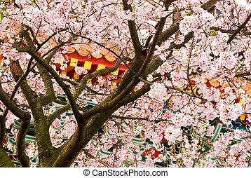natura, fondo, di, sakura