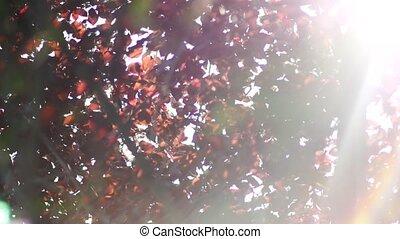 natura, słońce, liście, migotanie, jesień, czerwony