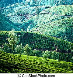 natura, tè, munnar, plantation., mattina, presto, india., nebbia, fondo, kerala, alba