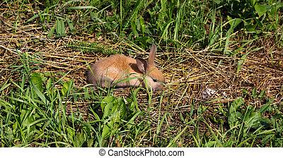 natura, zając, miedzianowłosy, farm., królik, trawa
