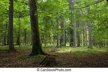 natural, árvore, carvalho, levantar, floresta, musgo,...