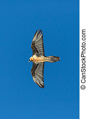 adult bearded vulture (gypaetus barbatus) flying blue sky - ...
