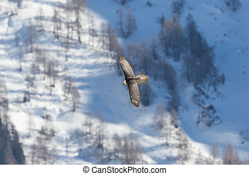adult bearded vulture (gypaetus barbatus) in flight, forest...
