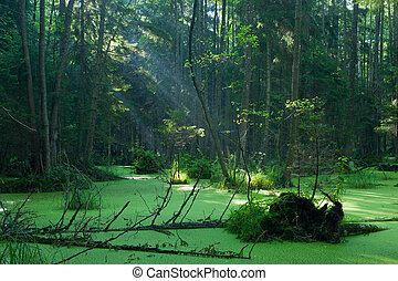 Natural alder-carr stand of Bialowieza Forest in sunrise - ...