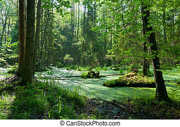 Natural alder-carr stand of Bialowieza Forest with standing ...