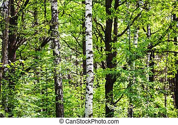 birch, alder, aspen, larch trees in green forest