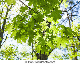 branch of maple tree with green leaves in forest