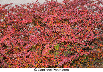 natural background - bush with red leaves