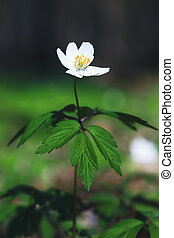 Anemone sylvestris - Natural background.  First spring ...