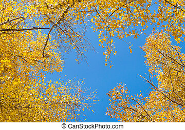 Natural background. Frame of aspen crowns with yellow leaves aga