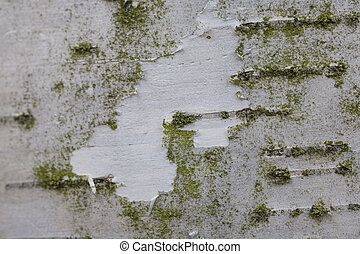 background from white birch bark with green coating