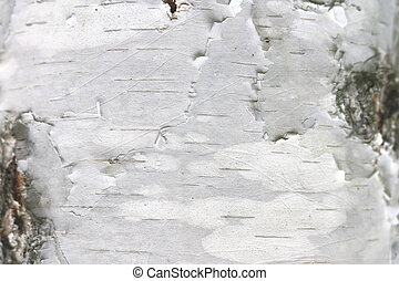 natural birch texture