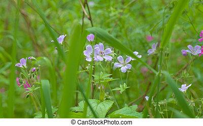 flowering wild geranium