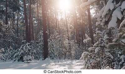 Natural background of snow covered coniferous trees with morning sunbeams around. Beautiful winter forest during cold season. Atmospheric landscape.