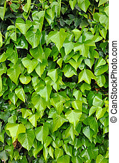 Natural background of vibrant green ivy leaves