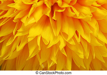 Natural background - sunflower in closeup