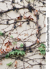 Natural background with wild climbing vine