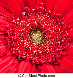 yellow center of red gerbera bloom close up