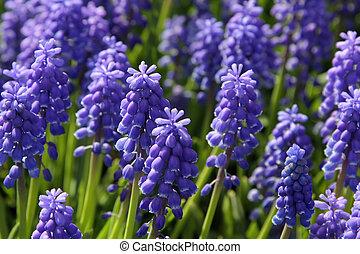 Natural backgrounds: Bluebells - Bluebells (Grape Hyacinth,...