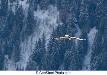 bearded vulture (gypaetus barbatus) flying over forest in ...