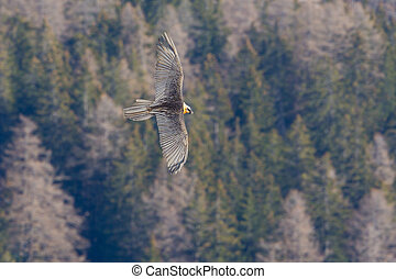 bearded vulture (gypaetus barbatus) in flight over forest - ...