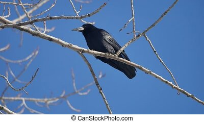 natural bird black corvus crow raven sitting on branches in...