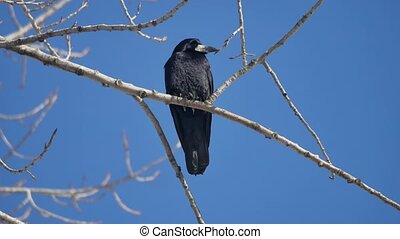 natural bird black corvus crow raven sitting on branches in winter, blue sky wild raven outdoors