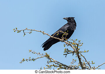 black carrion crow (corvus corone) standing on branch - ...