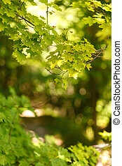 Natural blurred background of the path in the summer forest on a background of maple leaves. Sunlight in leaves, bokeh