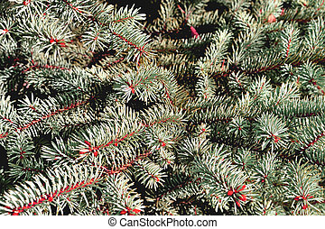 natural branches of blue spruce in fantasy colors for creativity in the rays of the sunlight