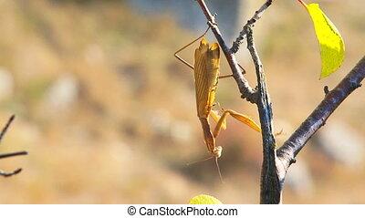 Natural camouflage - Large brown mantis lies in wait,...