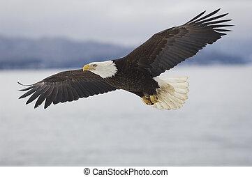 natural de alaska, águila calva
