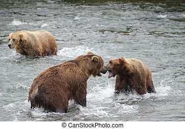 natural de alaska, marrón, lucha, osos