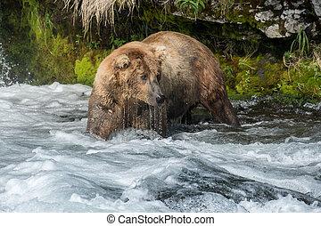 natural de alaska, marrón, pesca, oso